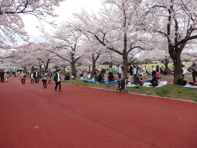大阪でも桜が満開に(4月1日、大阪市内)
